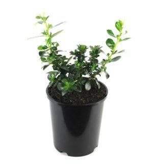 Escallonia | macranthra rubra