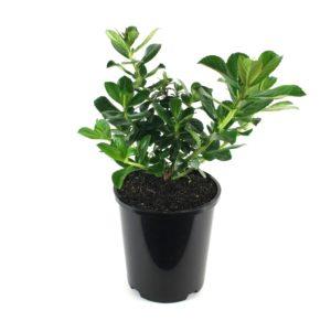 Escallonia | macranthra pink