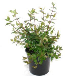 Abelia grandiflora | glossy abelia shrub plant pot