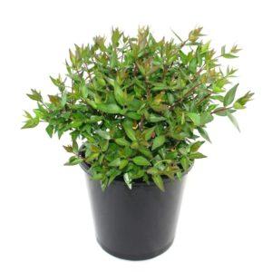 Abelia grandiflora nana | dwarf abelia shrub plant pot