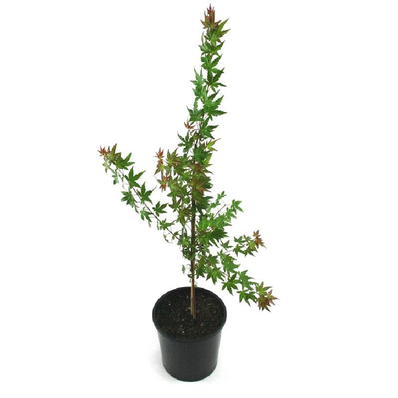 Acer | palmatum