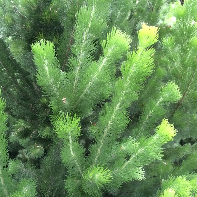 Adenanthos sericeus | Albany woollybush