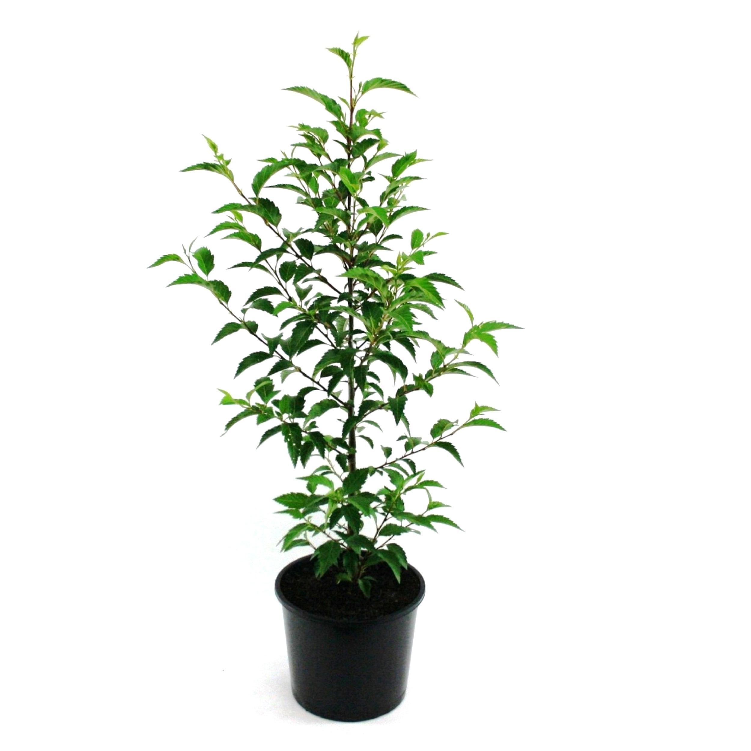 Alnus jorullensis | evergreen alder