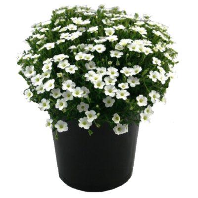 Arenaria montana | groundcover perennial plant pot