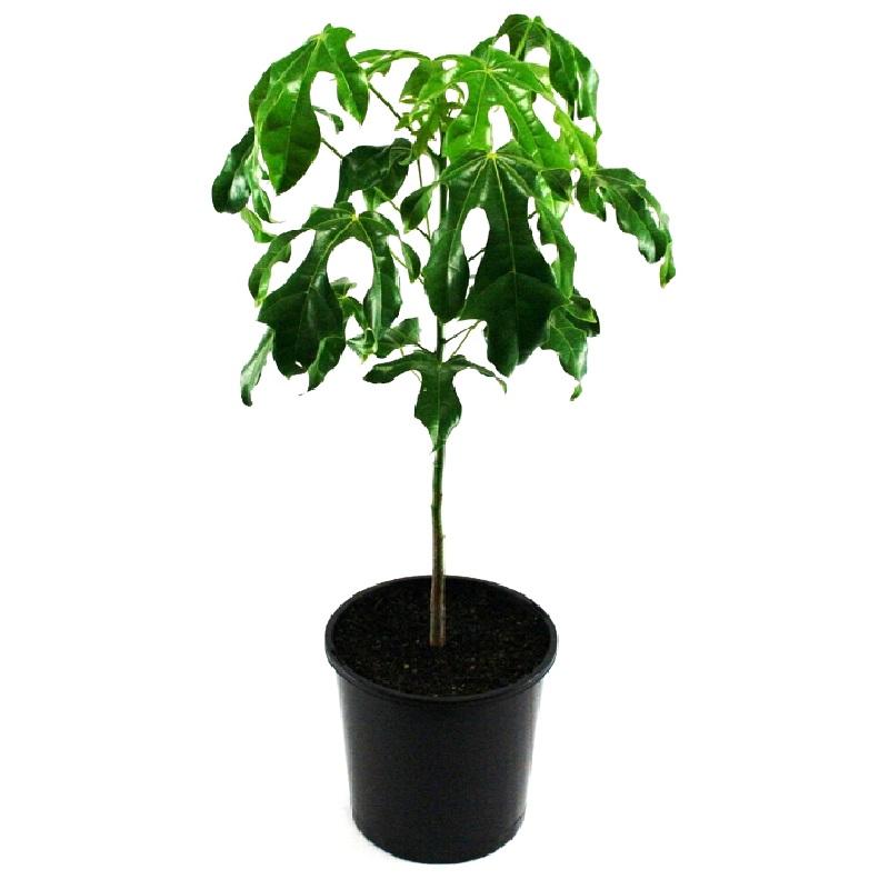 Brachychiton acerifolius | illawarra flame tree
