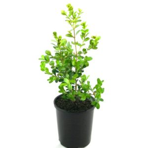 Buxus microphylla Japonica | japanese box hedging shrub plant pot