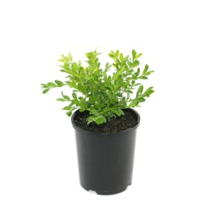 Buxus microphylla Microphylla | korean box hedging shrub plant pot