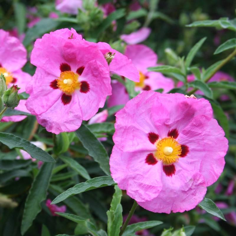 Cistus Brilliancy | Rock Rose Plant | Ground Cover Shrub Closeup