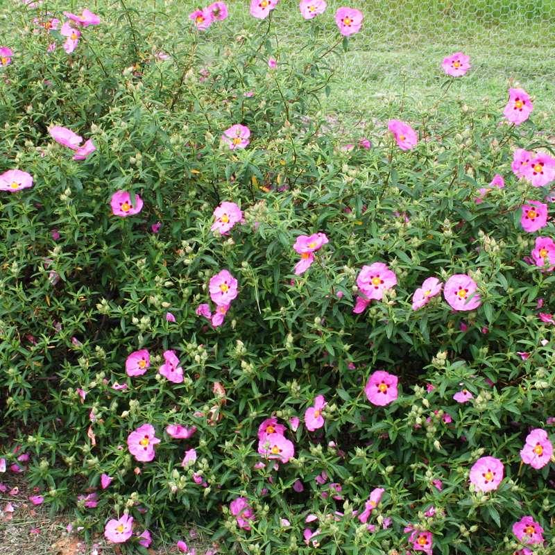 Cistus Brilliancy | Rock Rose Plant