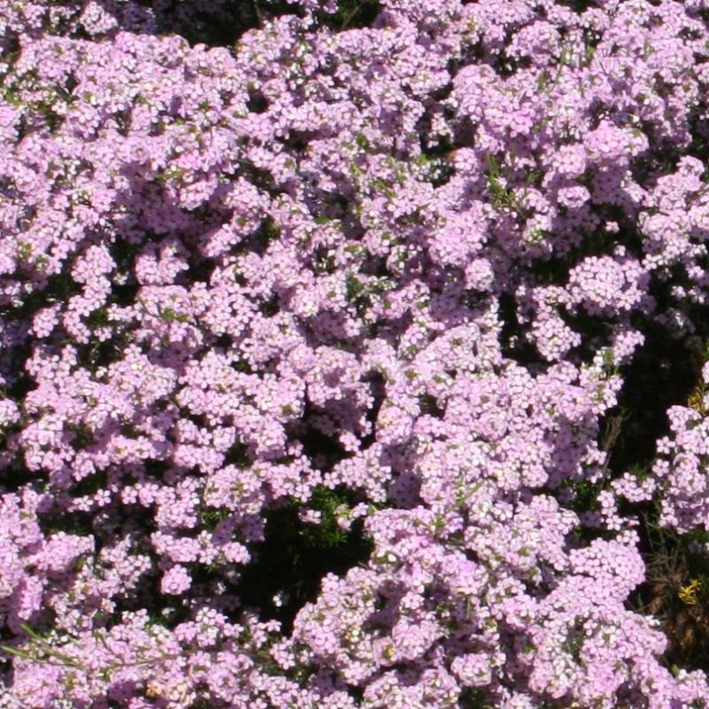 Coleonema compacta Pink | Diosma