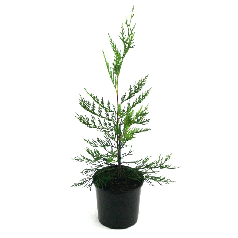Cupressus | Leightons Green