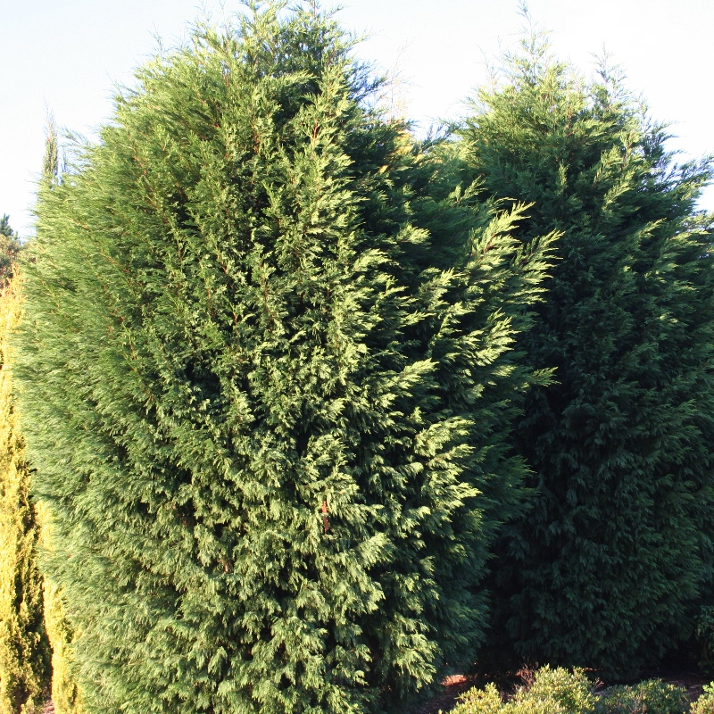 Cupressus Leightons Green