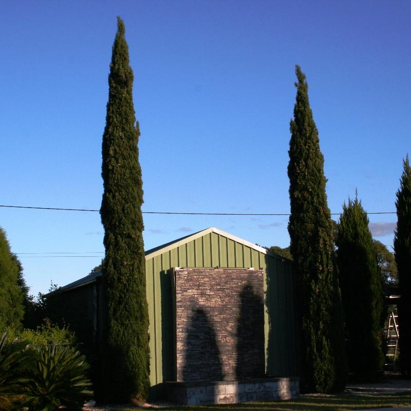 Cupressus sempervirens Glauca   Glaucous Pencil Pine