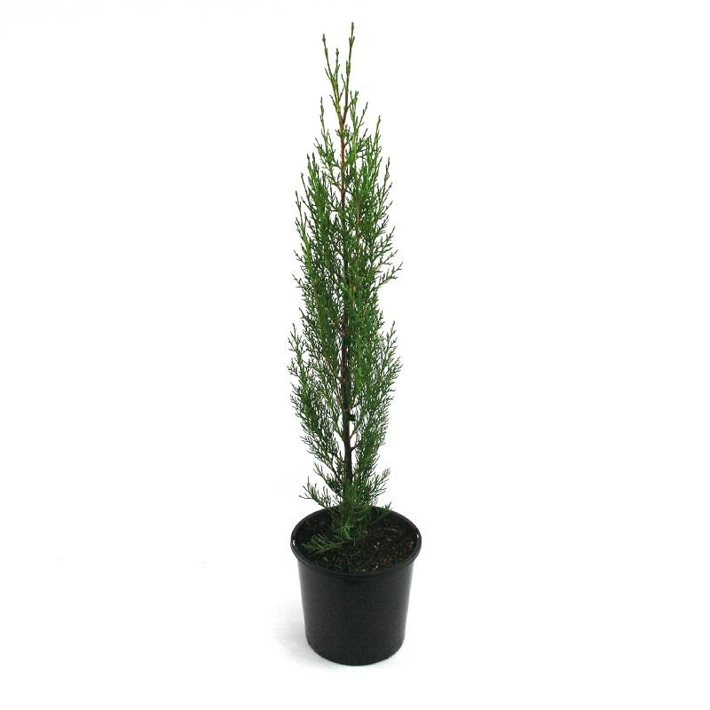 Cupressus sempervirens stricta | pencil pine