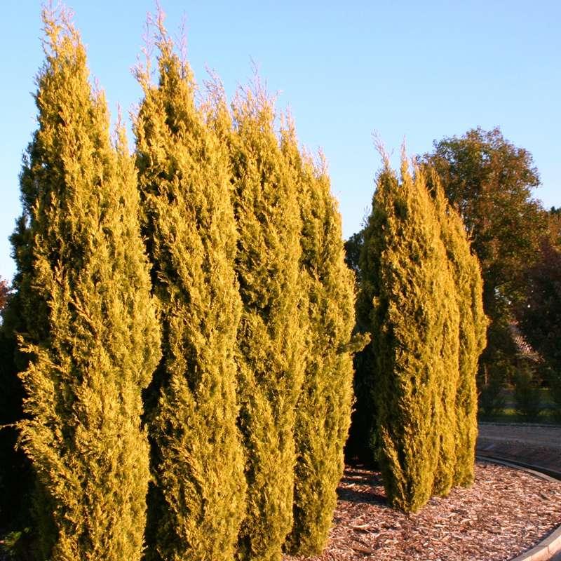 Cupressus Sempervirens | Swanes Golden Cypress Pine | Conifer