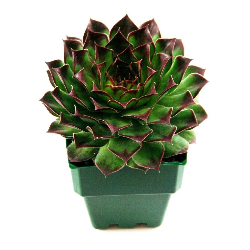 Echevaria hybrida