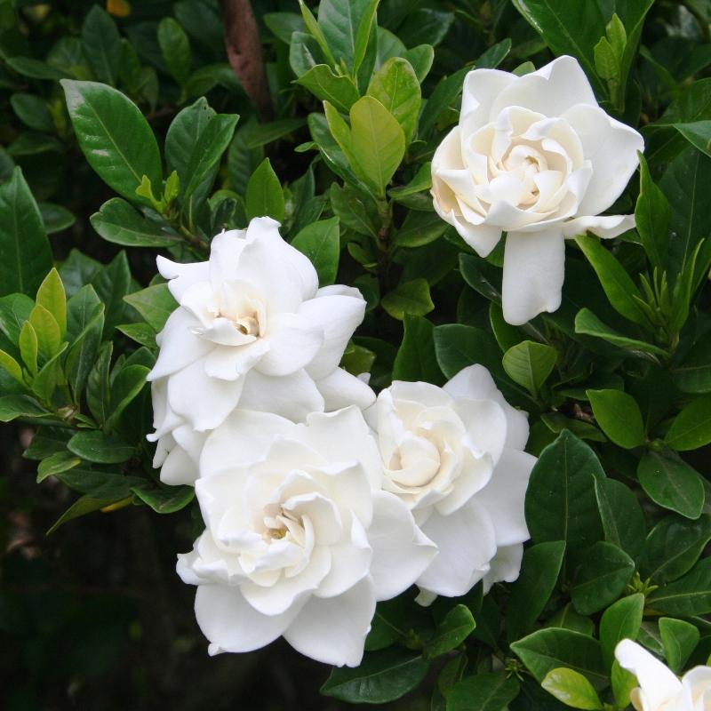 Gardenia florida | Cape Jasmine
