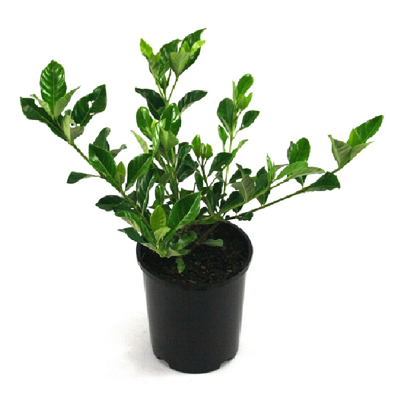 Gardenia | florida
