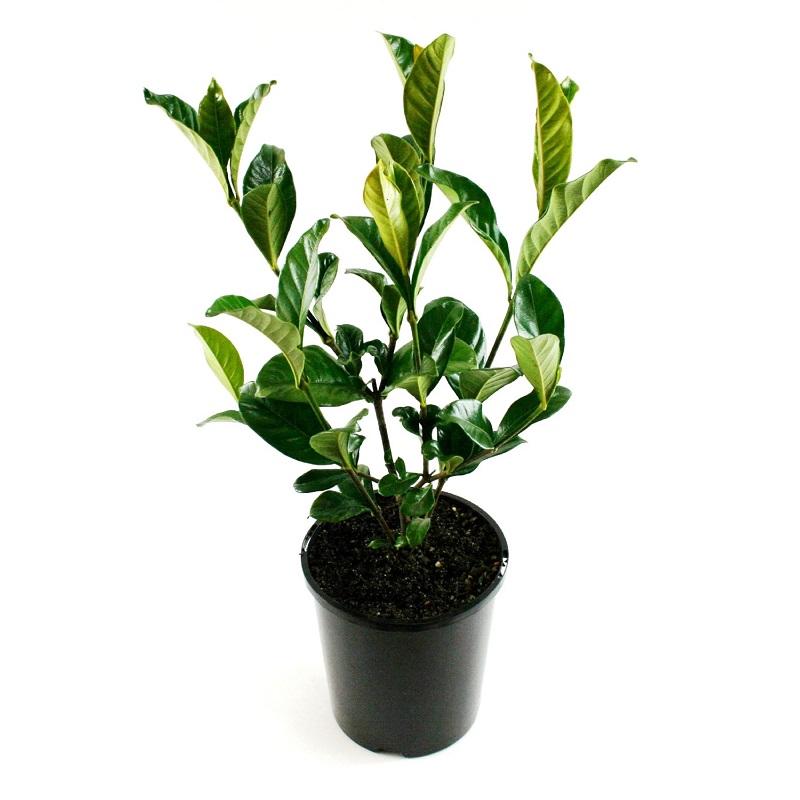Gardenia magnifica | shrub | plant