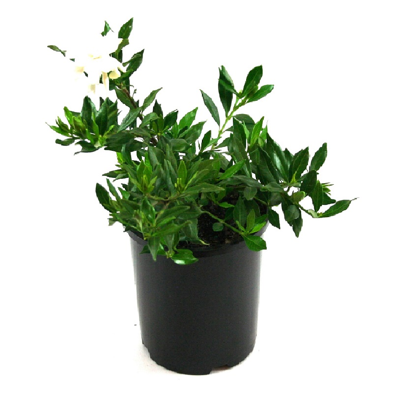 Gardenia | radicans