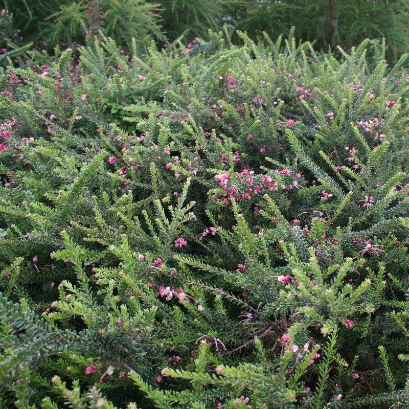 Grevillea lanigera | Woolly Grevillea