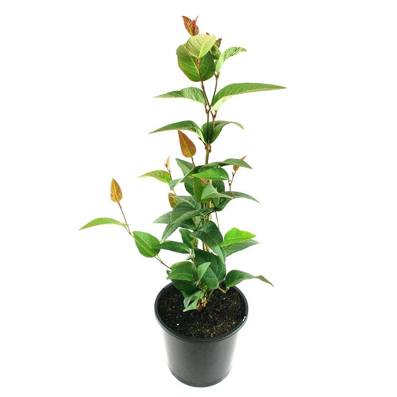Hardenbergia regent | climber | Australian native | plant