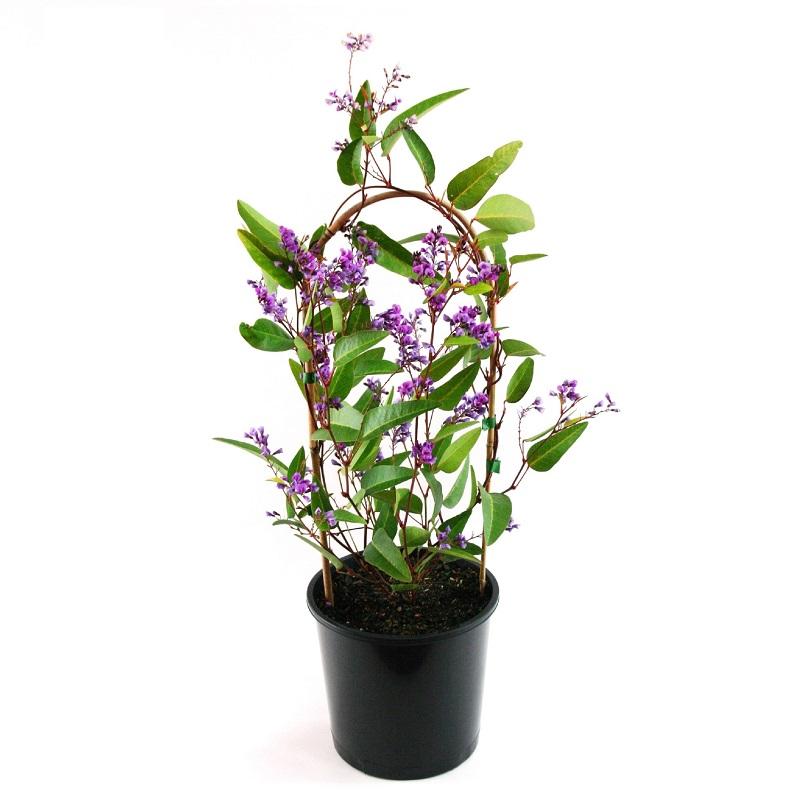 Hardenbergia violacea | purple coral pea | climber