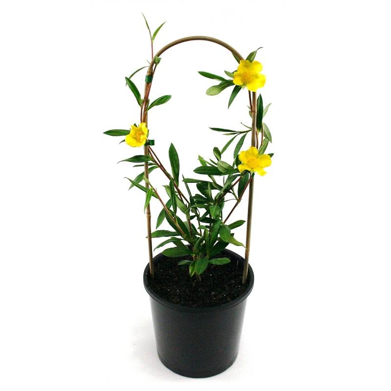 hibbertia scadens | snake vine | climber | flowers | Australian native | plant