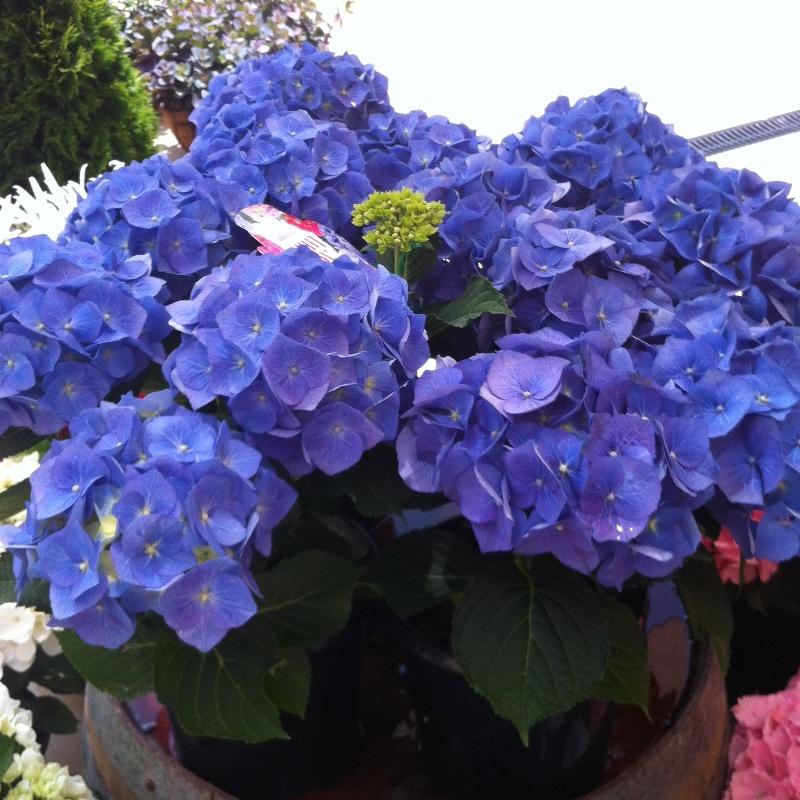 Hydrangea teatime Compact Blue
