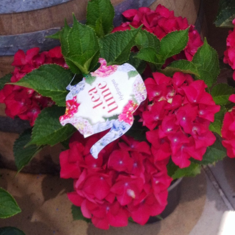 Hydrangea teatime Compact Red