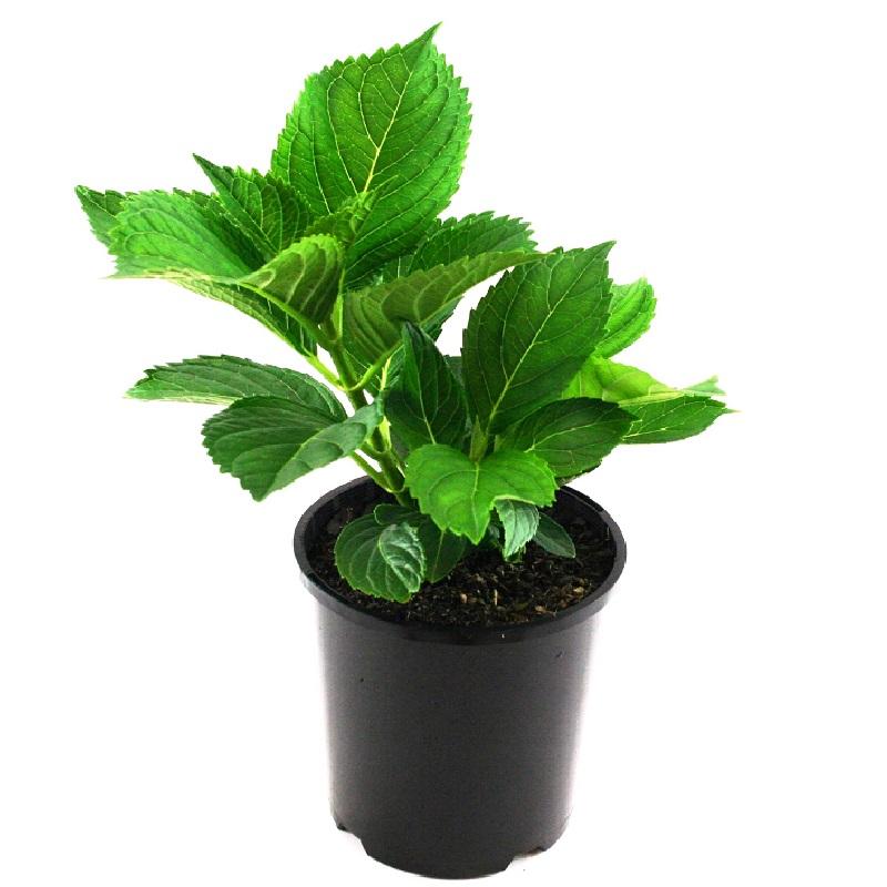 Hydrangea | Teatime | compact white