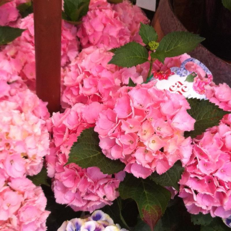Hydrangea teatime Medium Pink