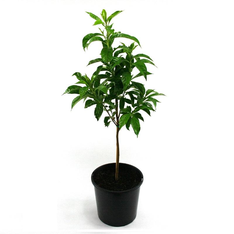 Hymenosporum flavum | native frangipani