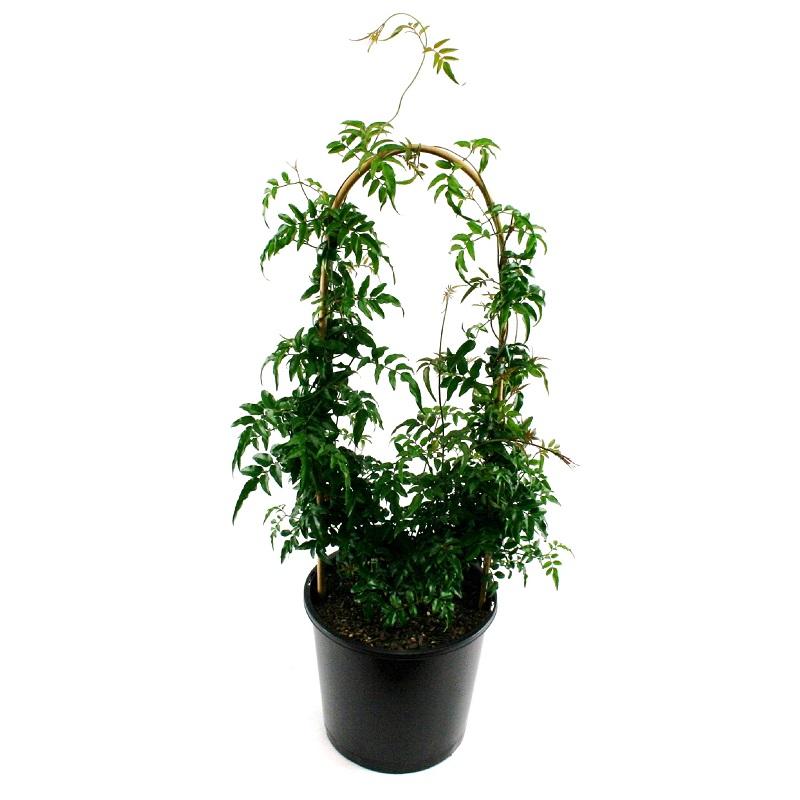 Jasminum polyanthum | jasmine