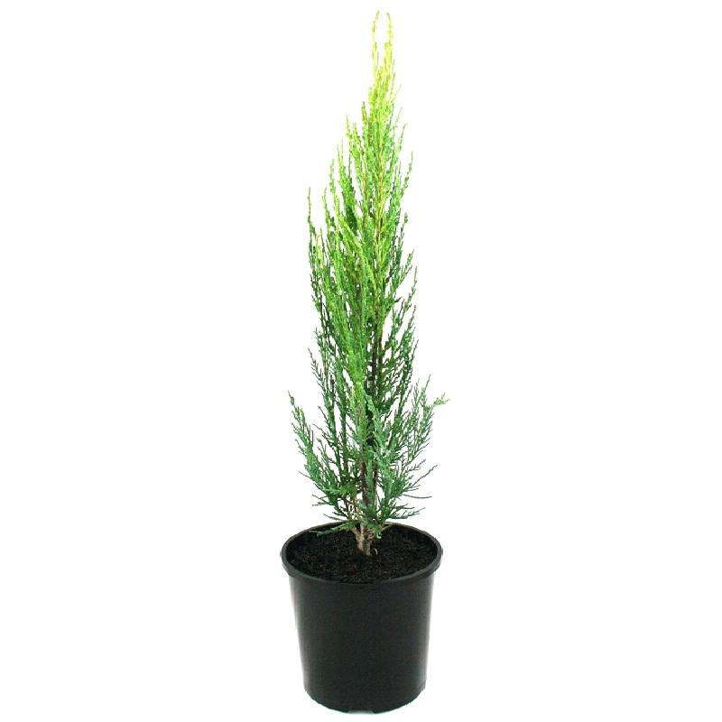 Juniperus | Skyrocket