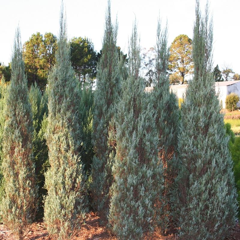 Juniperus skyrocket | Conifer