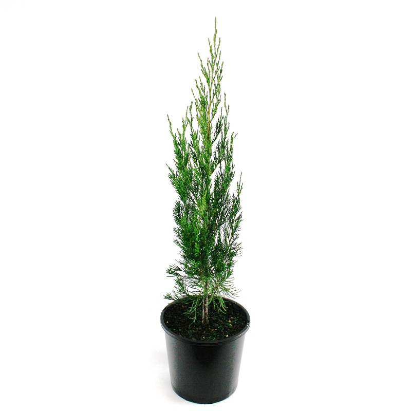 Juniperus | spartan