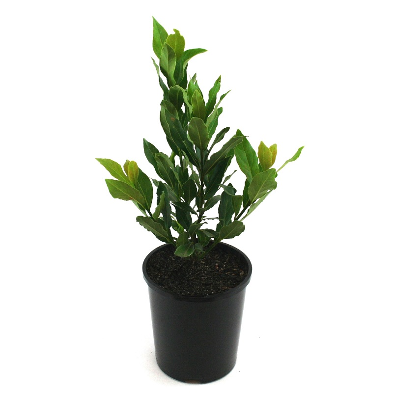 Laurus nobilis | bay tree