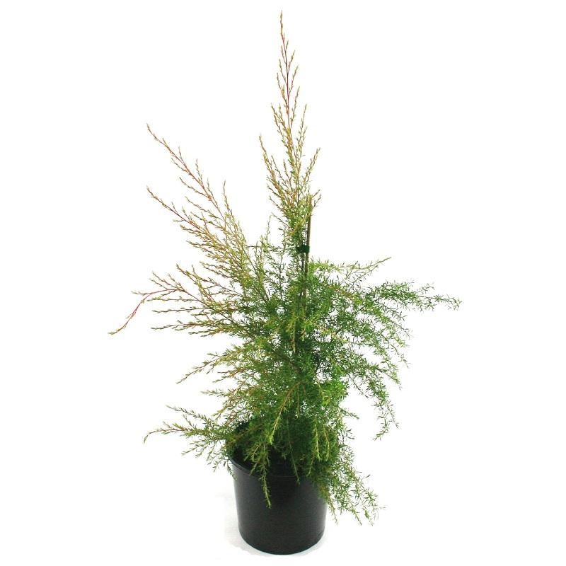Leptospermum | flavescens | cardwell