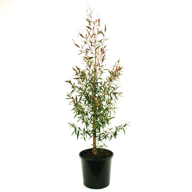 Leptospernum pettersonii | lemon scented tea tree
