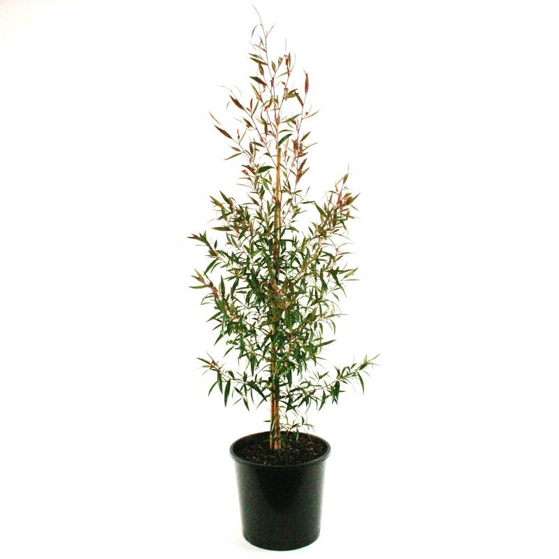 Leptospernum pettersonii | lemon scented tea tree