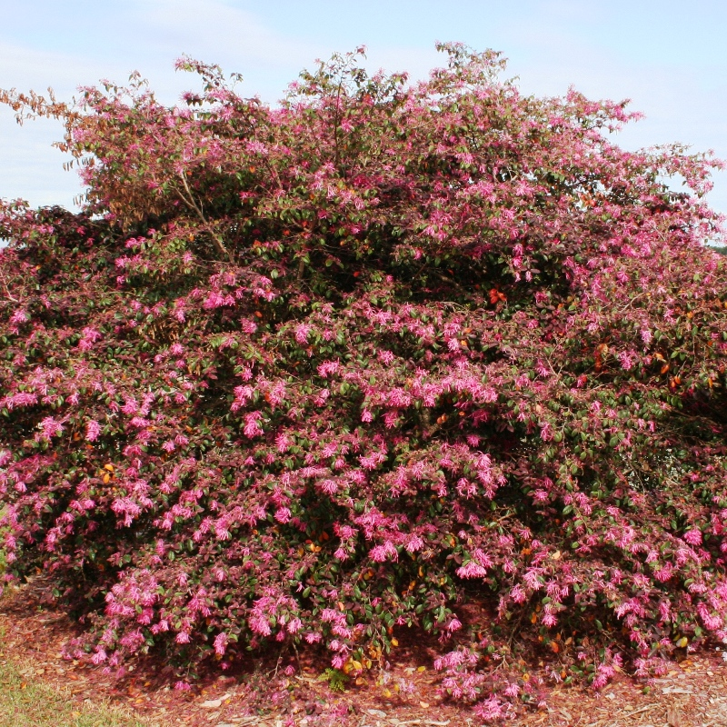 Lorapetalum burgundy | Chinese Fringe Flower