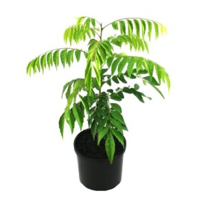 Murraya koenigii | curry leaf shrub plant pot