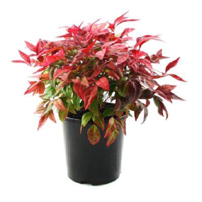 Nandina nana | dwarf nandina shrub plant pot
