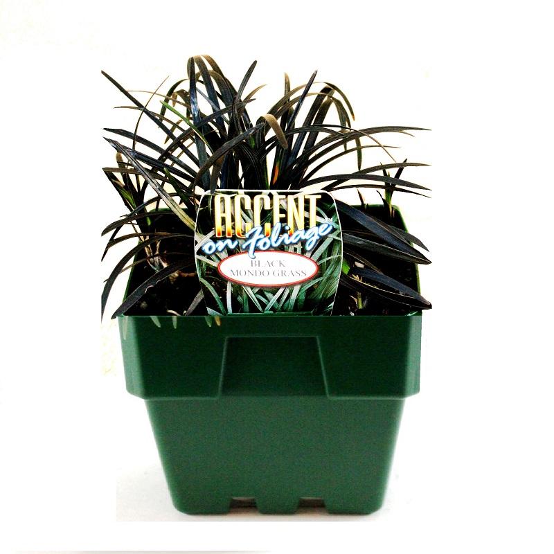 Ophiopogon japonicus | black mondo