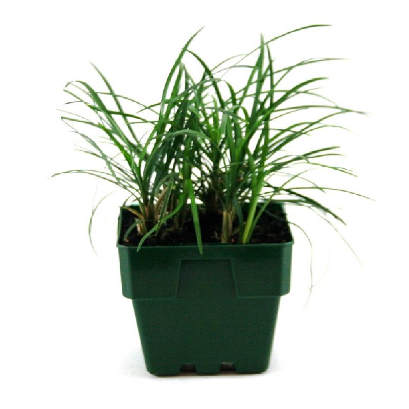 Ophiopogon japonicus | mondo grass