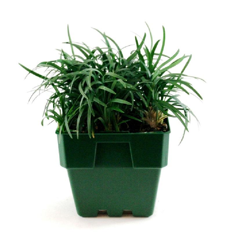 Ophiopogon japonicus nana | dwarf mondo