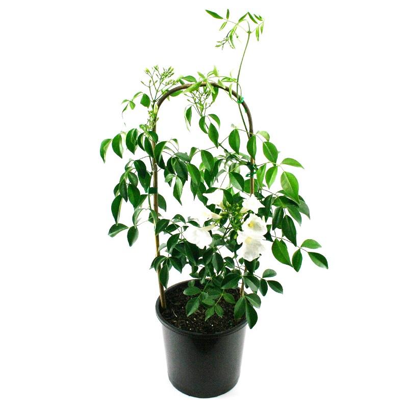 Pandorea jasminoides alba | white bower vine
