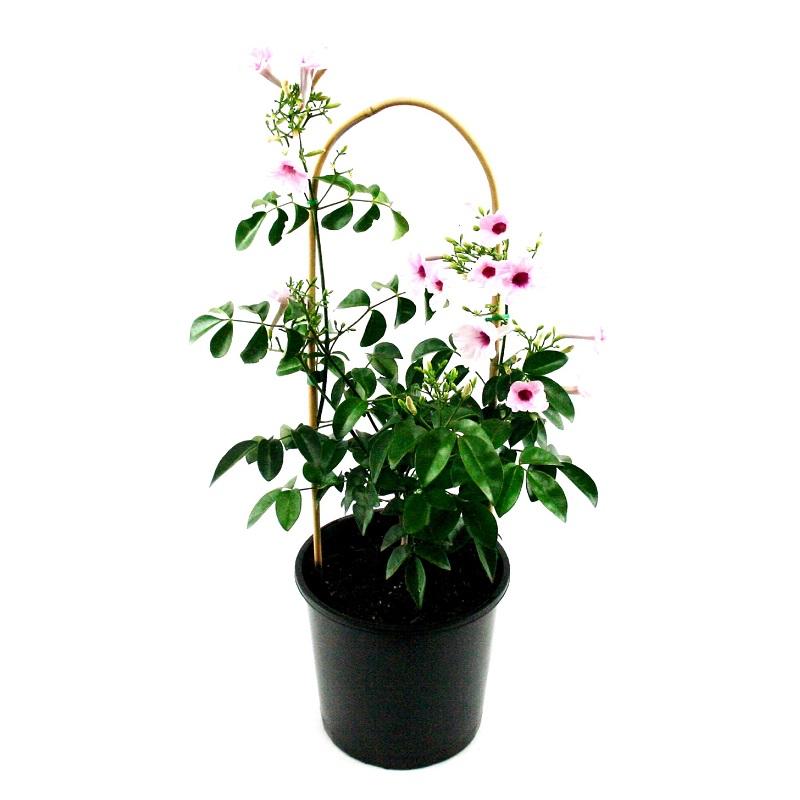 Pandorea jasminoides | bower vine
