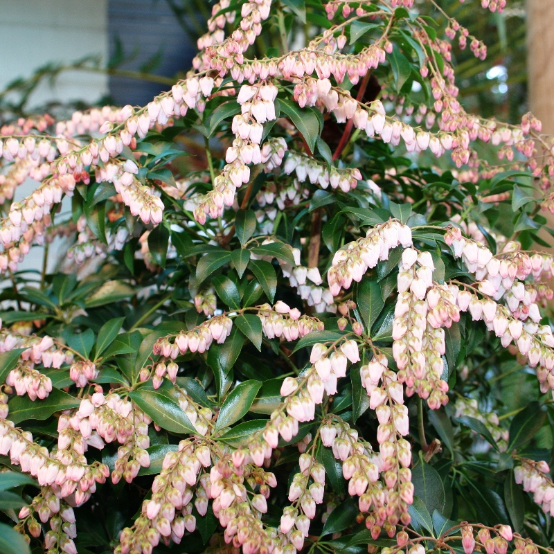 Pieris Christmas Cheer